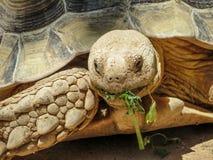 Portret van schildpad Stock Afbeelding