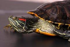 Portret van schildpad Royalty-vrije Stock Afbeeldingen