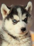 Portret van schor puppy royalty-vrije stock foto's