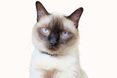 Portret van Siamese kat Royalty-vrije Stock Foto