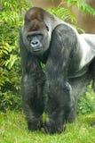Portret van silverbackgorilla Stock Foto's