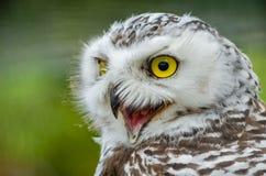 Portret van Sneeuwowl bubo scandiacus royalty-vrije stock fotografie