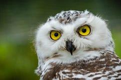 Portret van Sneeuwowl bubo scandiacus stock afbeeldingen
