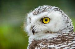 Portret van Sneeuwowl bubo scandiacus royalty-vrije stock afbeeldingen