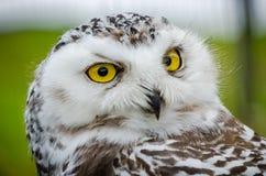 Portret van Sneeuwowl bubo scandiacus royalty-vrije stock foto