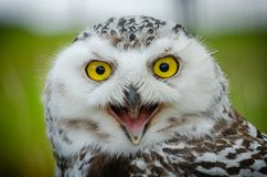 Portret van Sneeuwowl bubo scandiacus stock fotografie