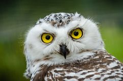 Portret van Sneeuwowl bubo scandiacus stock foto's