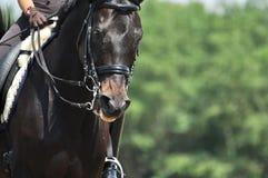 Portret van sportpaard Royalty-vrije Stock Afbeelding
