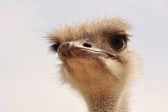 Portret van struisvogel Stock Afbeeldingen