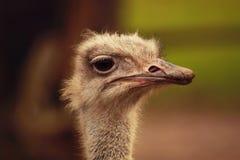 Portret van struisvogel Belangrijke het opleggen nieuwsgierige struisvogel in nationaal aardpark openlucht Selectieve nadruk royalty-vrije stock foto's