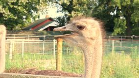 Portret van struisvogel dichte omhooggaand stock footage