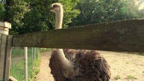 Portret van struisvogel dichte omhooggaand stock video