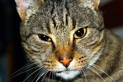Portret van tabby kat Stock Foto's