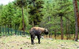 Portret van takin, geit-koe dier, symbool van Bhutan royalty-vrije stock foto