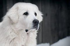 Portret van Tatra-Herder Dog Royalty-vrije Stock Fotografie
