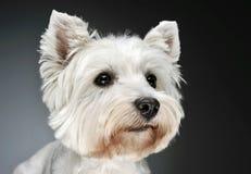 Portret van Terrier van het het westenhoogland het Witte in een donkere studio Royalty-vrije Stock Afbeeldingen