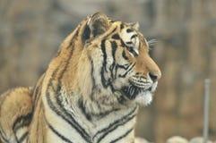 Portret van tijger Stock Afbeelding