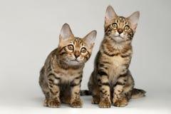 Portret van Twee Bengalen Kitten Sitting op Witte Achtergrond Stock Afbeeldingen