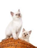 Portret van twee Britse Shorthair-Katjes die, 8 weken oud zitten, Royalty-vrije Stock Afbeeldingen