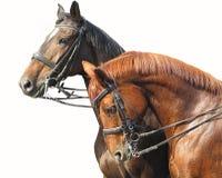 Portret van twee bruine die paarden op wit wordt geïsoleerd Royalty-vrije Stock Afbeeldingen