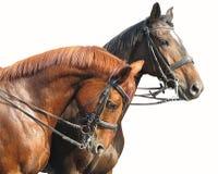 Portret van twee bruine die paarden op wit wordt geïsoleerd Royalty-vrije Stock Foto's