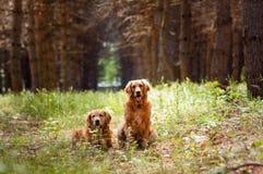 Portret van twee honden Stock Afbeeldingen