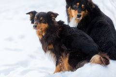 Portret van twee honden in de sneeuw Royalty-vrije Stock Foto