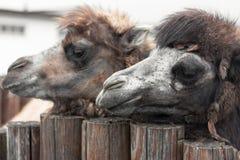 Portret van twee kamelen dierentuin stock foto