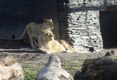 Portret van twee leeuwinnen in aard bij de dierentuin, Finland Stock Fotografie