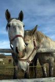 Portret van twee paarden Stock Foto