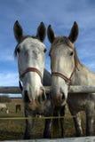 Portret van twee paarden Royalty-vrije Stock Afbeelding