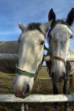 Portret van twee paarden Stock Foto's