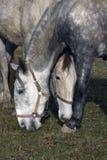Portret van twee paarden Stock Afbeelding