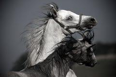 Portret van twee paarden Royalty-vrije Stock Fotografie