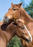Portret van twee paarden Stock Fotografie