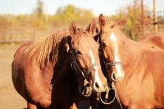 Portret van twee paarden in de zomer Stock Foto's
