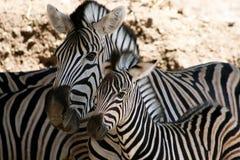 Portret van twee zebras. royalty-vrije stock foto