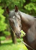 Portret van verbazend zwart paard met bladeren Royalty-vrije Stock Foto's