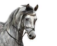 Portret van vlek-grijs Arabisch paard Royalty-vrije Stock Foto's