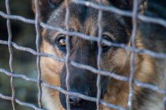 Portret van volbloed- herdershond in een kooi stock foto's