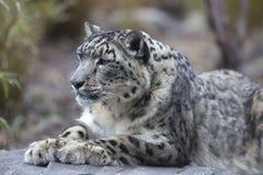 Portret van volwassen uncia van Panthera van de sneeuwluipaard Stock Afbeelding
