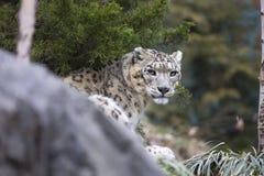 Portret van volwassen uncia van Panthera van de sneeuwluipaard Royalty-vrije Stock Afbeeldingen