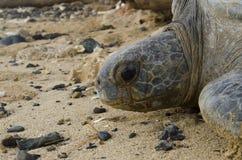 Portret van Vreedzame Groene overzeese schildpad in verlaten strand Stock Foto's