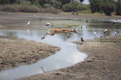 Portret van vrije Afrikaanse het springen impala royalty-vrije stock fotografie