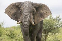 Portret van vrije zwervende Afrikaanse olifant royalty-vrije stock afbeeldingen