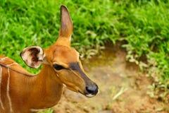 Portret van vrije zwervende impalaantilope bij open khaokheow royalty-vrije stock fotografie