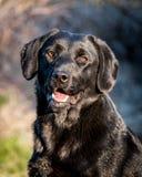 Portret van vrolijke binnenlandse hond labrador retriever Royalty-vrije Stock Foto's