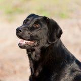 Portret van vrolijke binnenlandse hond labrador retriever in openlucht Stock Foto