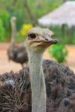 Portret van Vrouwelijke Afrikaanse Struisvogel Royalty-vrije Stock Foto's