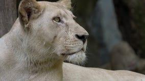 Portret van vrouwelijke leeuw stock video